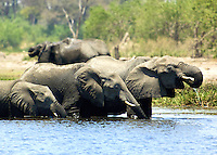 3 elephants including the mother and calf all in a row, drinking from their favorite watering hole in the Okavango Delta, Botswana Africa.