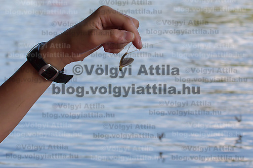A boy holds an insect during the yearly few days long swarming of the long-tailed mayfly (Palingenia longicauda) on the river Tisza in Tiszainoka (some 135 km south-east from Budapest), Hungary on June 23, 2013. ATTILA VOLGYI<br /> The long-tailed mayfly larves live 3 years under water level in the river banks then swarm out for a one day period of their life to die after mating.
