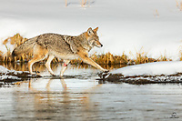 Coyote (Canis latrans) heads back to the bank of the Madison River, after checking out a couple small islands in the river.
