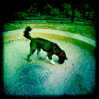 Olie at the Small Dog Run in Washington Square Park