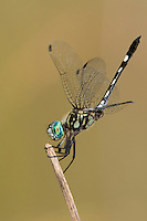 338600007 a wild male thornbush dasher dragonfly mictathyria in obelisk position oriented to shade as much of its body from the sun as possible at hornsby bend travis county texas