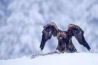 Golden eagle 2013