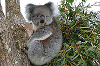 BNPS.co.uk (01202 558833)<br /> Longleat/BNPS<br /> <br /> A Longleat Koala takes it easy<br /> <br /> Groundbreaking research carried out by British scientists may help to secure the long term survival of the 'threatened' koala in the wild.<br /> <br /> They have identified a genetic mutation in the marsupials which causes a kidney disease that affects almost 60 per cent of koalas in captivity and the wild.<br /> <br /> The discovery was made by University of Nottingham researchers while carrying out tests on tragic Wilpena, a southern koala who died at Longleat Safari Park in Wilts last year.<br /> <br /> She had been bought over from Adelaide in Australia with four other koalas last October as part of a conservation programme, but succumbed to oxalate nephrosis in January.<br /> <br /> It is hoped the breakthrough will help them to develop cross-breeding programmes to eradicate the genetic mutation.