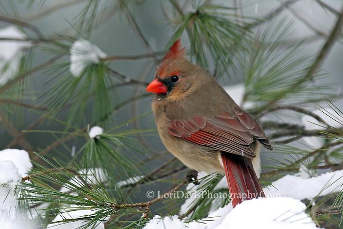 Female Cardinal  #B1