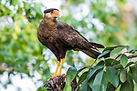 Southern Crested Caracara (Caracara plancus), Pantanal, Mato Grosso, Brazil