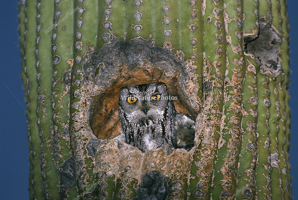 Western Screech Owl, Megascops kennicottii, in a Saguaro; Sonoran Desert, Arizona