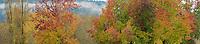 Sweet Gum trees, Washington