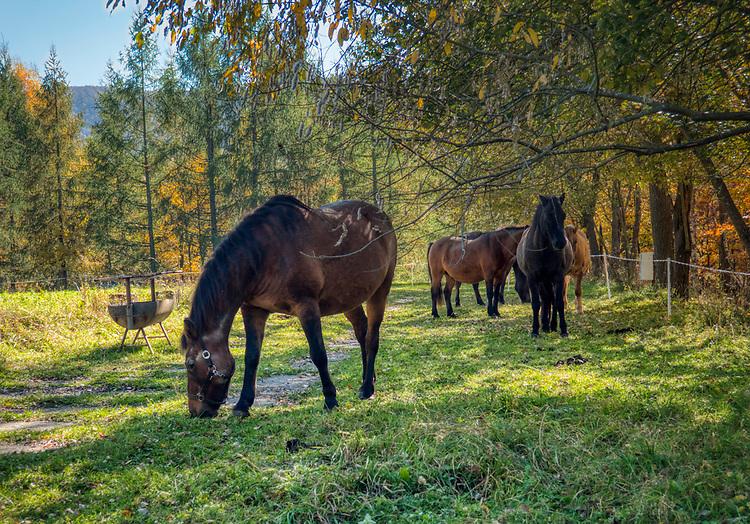 """Wetlina (woj. podkarpackie), 2018-10-12. Jesień w Bieszczadach, konie na campingu """"Górna Wetlinka"""" k/Wetliny."""