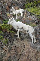 A mother and lamb Dall Sheep standing on a rock cliff, Alaska.