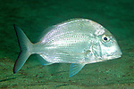 Calamus leucosteus, Whitebone porgy, Jupiter, Florida