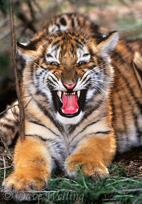 684089075 a captive siberian tiger cub panthera tigris altaicia snarls at the camera species is highly endangered native to the high steppe plateaus of central asia and this is a wildlife rescue animal