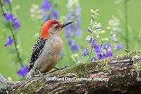 01196-03413 Red-bellied Woodpecker (Melanerpes carolinus) male in flower garden, Marion County, IL