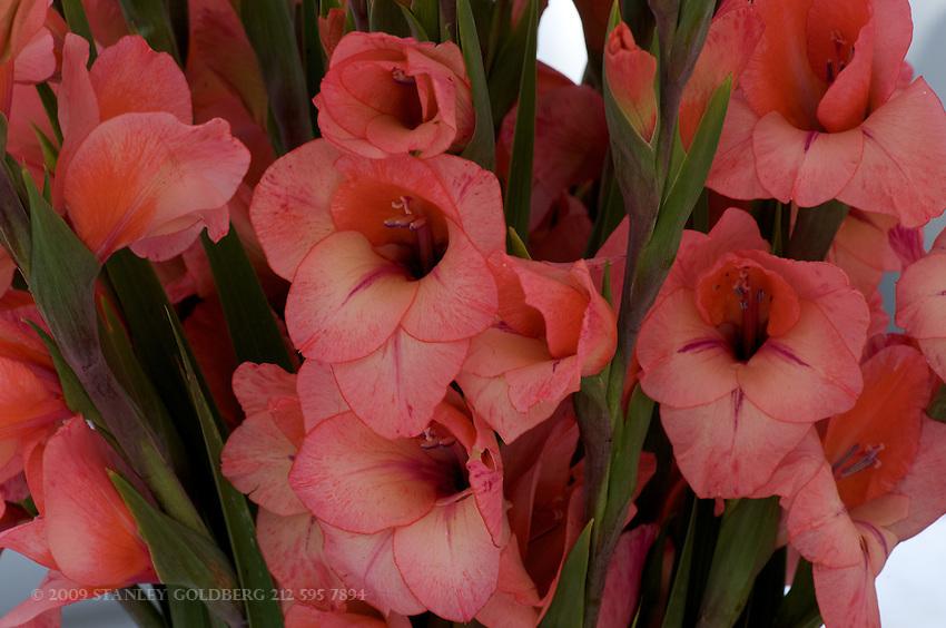 Samon Gladiolus