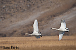 Trumpeter swan pair in flight. National Elk Refuge, Wyoming.