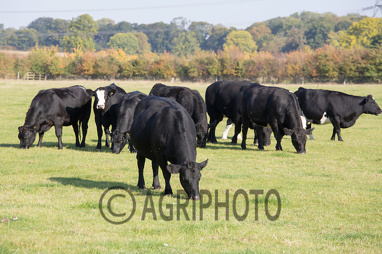 Beef suckler cows grazing <br /> Picture Tim Scrivener 07850 303986<br /> tim@agriphoto.com<br /> &hellip;.covering agriculture in the UK&hellip;.