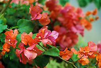 Close up of a bright pink flowering bougainvillea plant