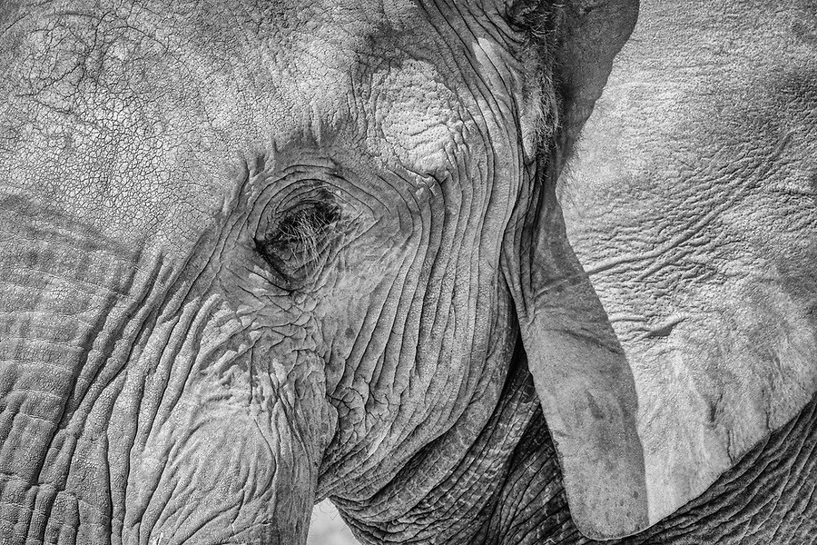 Elephant Portrait.