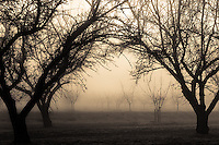 A foggy winter morning in the almond orchards in the California central valley