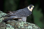 Peregrine Falcon, Falco peregrinus, on rocky edge, controlled situation. .USA....