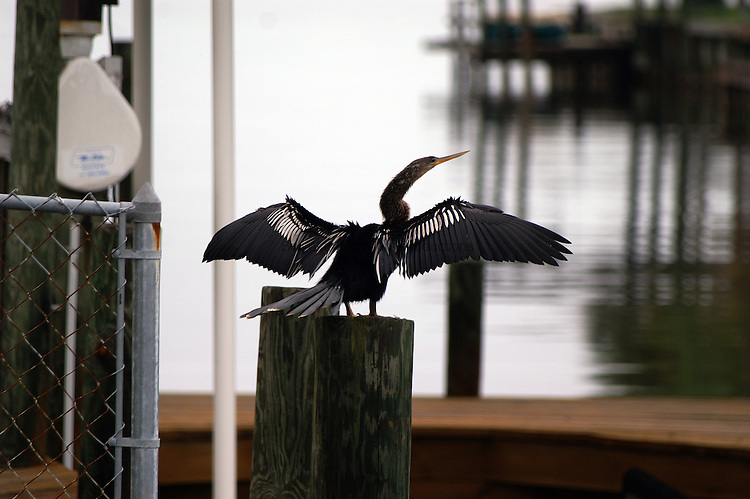 The anhinga is a diving bird without oily feathers.  After each dive, the bird has to spread its wings to air dry the feathers.