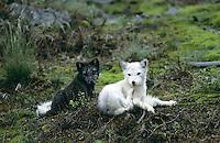 Polarfuchs, Eisfuchs, Polar-Fuchs, Eis-Fuchs, 1 Tier mit weißem Winterfell und 1 Tier mit dunklem Sommerfell, Alopex lagopus, Arctic fox, Renard polaire, Weißfuchs, Blaufuchs