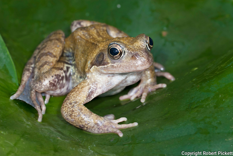 Common Frog, Rana temporaria, on lily leaf in pond, water