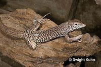 1R18-504z  Checkered Whiptail Lizard, Cnemidophorus tesselatus