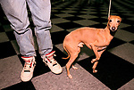 'CRUFTS', AN ITALIAN GREYHOUND CALLED HECTOR., 1991