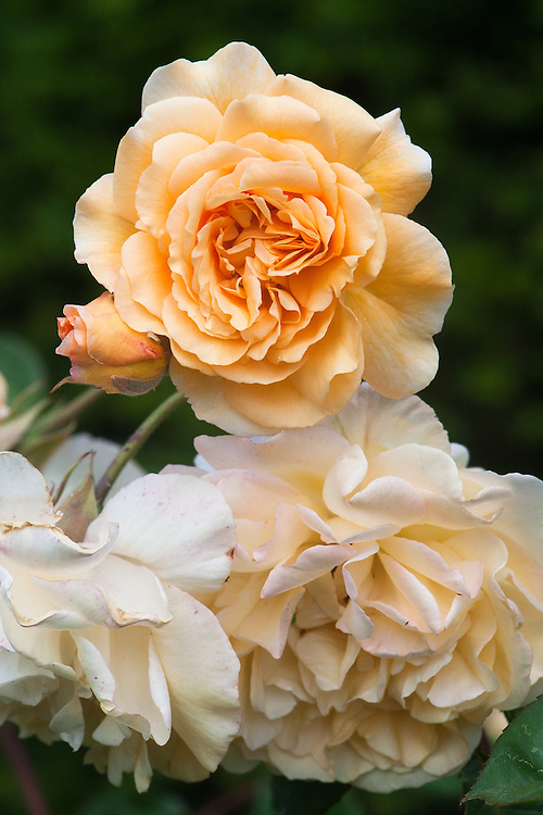 Rosa 'Buff Beauty', late June. A Hybrid Musk rose with yellow-apricot flowers with a tea-rose scent from July to September. Bred by Bentall in 1939.