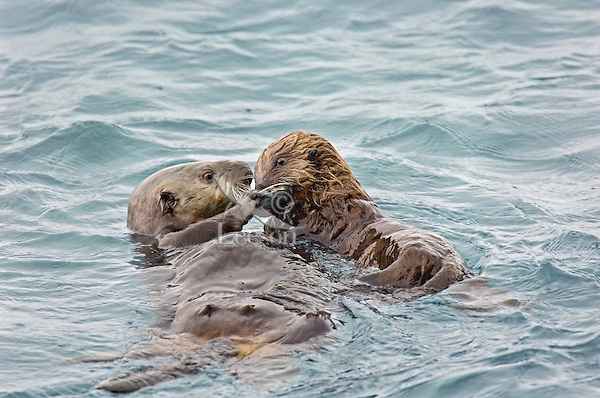 Sea Otter (Enhydra lutris) mother sharing clam with pup.  Prince William Sound, Alaska.