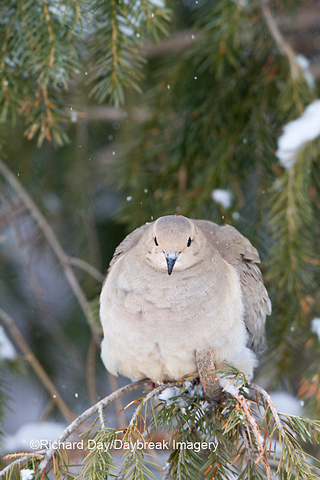 01081-01207 Mourning Dove (Zenaida macroura)  in spruce tree in winter, Marion Co., IL