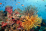 Coral reef in Beqa Lagoon, Pacific Harbor, Viti Levu, Fiji adorned with soft corals from the Dendronephthya family.