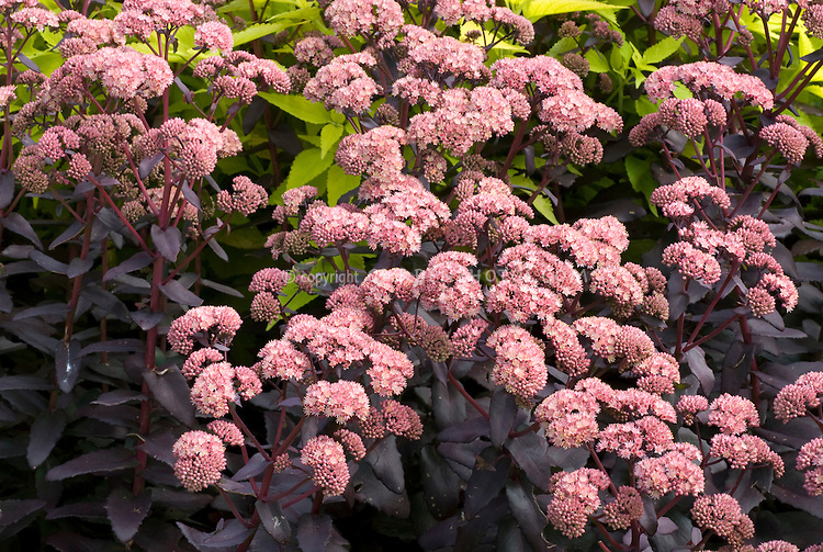 Sedum Purple Emperor in flower with dark purple foliage leaves