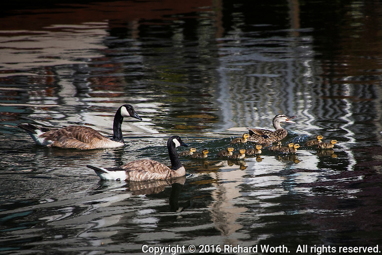 A female Mallard with eleven ducklings guides her brood while avoiding two threatening Canada Geese at Bay Farm Island, Alameda, California.