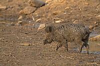 Indian Wild Boar - Sus scrofa cristatus - male