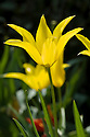 Tulipa 'West Point', late April. A pure yellow member of the Lily-flowered Group.