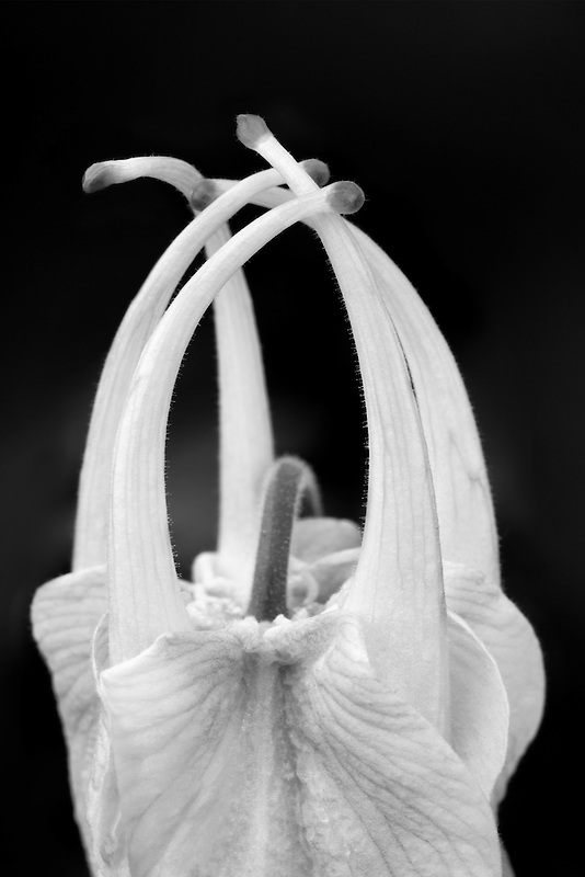 Close up of unfolding flower of Musik Pure White Columbine. (Aquilegea musik pure white)