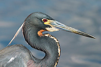 Adult Tri-colored Heron - Egretta tricolor- Breeding Plumage