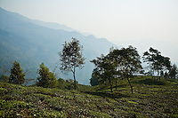 Rajah Swaraj Banerjee's sprawling tea estate, Makaibari, in Kurseong, Darjeeling, India. Rajah is the fourth generation owner of this estate, established in the 1840s. Makaibari produces some of the most expensive teas in the world and its' patented Silver Tips Imperial is the current record holder (2009) of the most expensive tea ever auctioned at USD400 per kg.