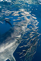 Bryde's whale, Balaenoptera brydei or Balaenoptera edeni, and California sea lions, Zalophus californianus, feeding on baitball of sardines or pilchards, Sardinops sagax, off Baja California, Mexico ( Eastern Pacific Ocean )