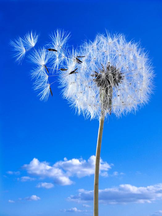Dandelion clocks seed heads