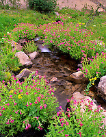 Monkey flowers (Mimulus) and small stream. Three Sisters Wilderness, Oregon
