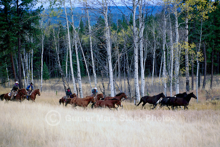 Wild Horse Drive Roundup at Douglas Lake Ranch near Quilchena, Thompson Okanagan Region, BC, British Columbia Canada, Autumn / Fall