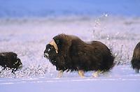 Wild Muskox, running, Arctic National Wildlife Refuge, Alaska
