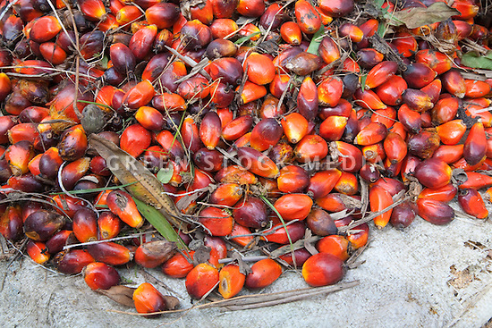 Individual ripe oil palm fruits on a canvas sheet. The Sindora Palm Oil Plantation, owned by Kulim, is green certified by the Roundtable on Sustainable Palm Oil (RSPO) for its environmental, economic, and socially sustainable practices. Johor Bahru, Malaysia