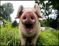 BNPS.co.uk (01202 558833)<br /> Pic: LeeMcLean/BNPS<br /> <br /> Get oink my land...Pannage pigs attack rambler.<br /> <br /> A rambler has spoken of his shock after being attacked by a group of pigs at a New Forest beauty spot.<br /> <br /> The four young porkers charged Paul Lipscombe, a retired photography lecturer, as he strolled close to Mill Lawn, near Burley.<br /> <br /> The stunned 64-year-old was bitten by the lead animal, then as he backed off the others continued advancing on him.<br /> <br /> Then, while composing himself following the attack, he witnessed the same group of pigs, each as big as a medium-sized dog, charge two young women across a small river.<br /> <br /> During the pannage season pigs are released into the New Forest to eat up the acorns that can be poisonous to the ponies.