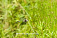 06544-00116 Hine's Emerald (Somatochlora hineana) male in flight, Federally Endangered Species, Reynolds Co,  MO