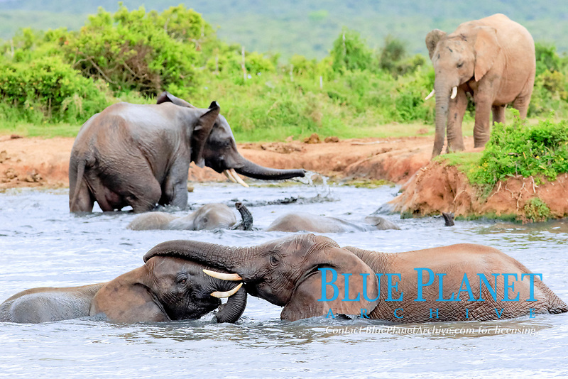 African elephant (Loxodonta africana) elephants bathing in the water, social behavior, group, Addo Elephant National Park, Eastern Cape, South Africa, Africa