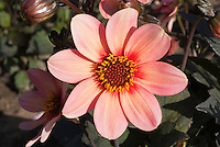 Dahlia Happy Single First Kiss