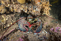 Northern Lobster, (Homarus americanus), A 20+ pound lobster in its den. Deer Island, New Brunswick, Canada, Atlantic Ocean